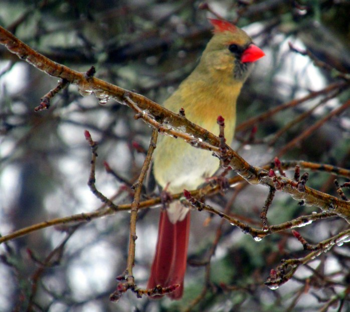 female cardinal stretching, in apple tree
