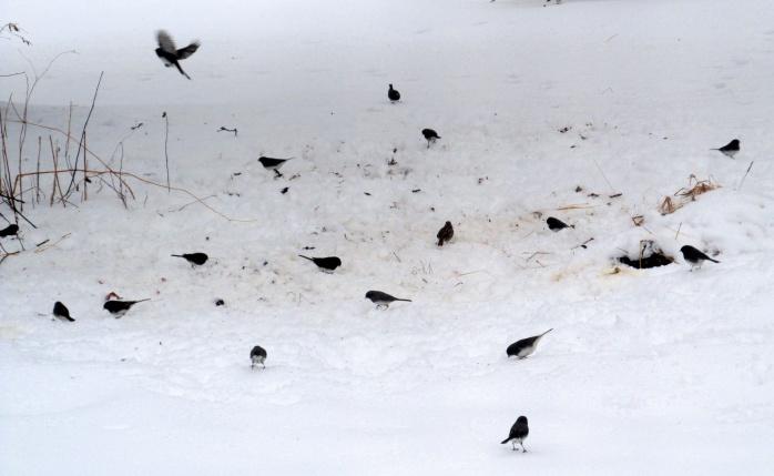 fifteen juncos in snow