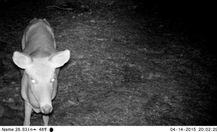 deer last week, on motion camera