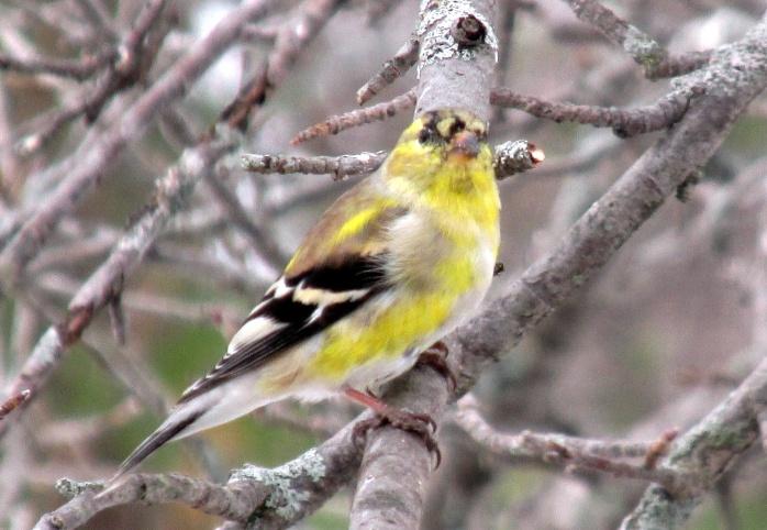 goldfinch in apple tree