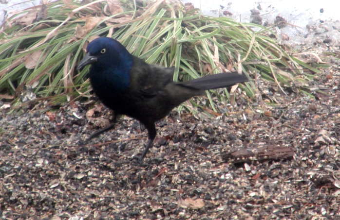 grackle with grass
