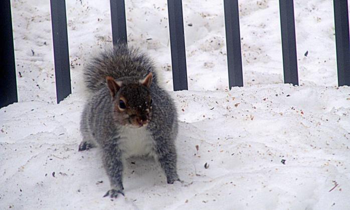 grey squirrel in snow