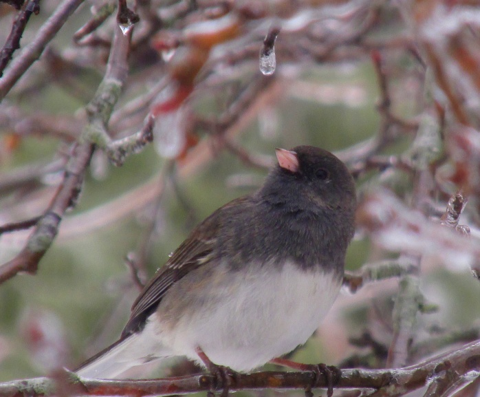junco in apple tree with ice droplet