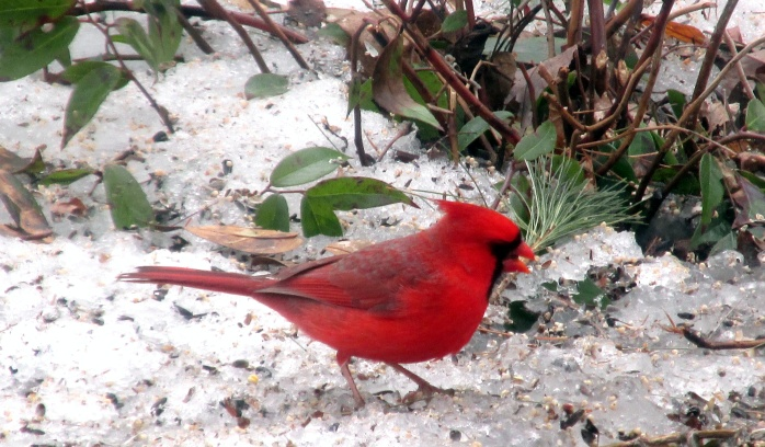 male cardinal with leucothoe in snow