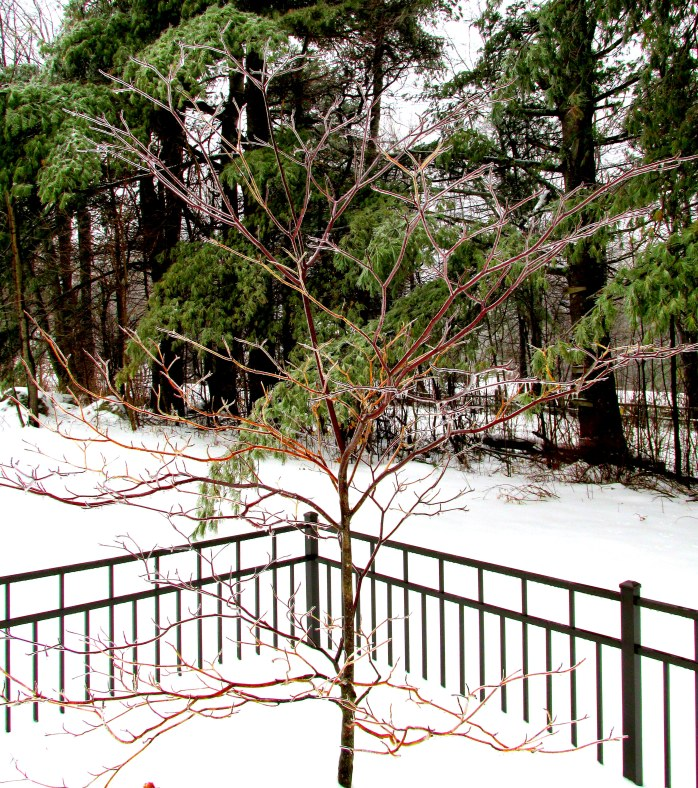 pagoda dogwood in ice, with white pines behind