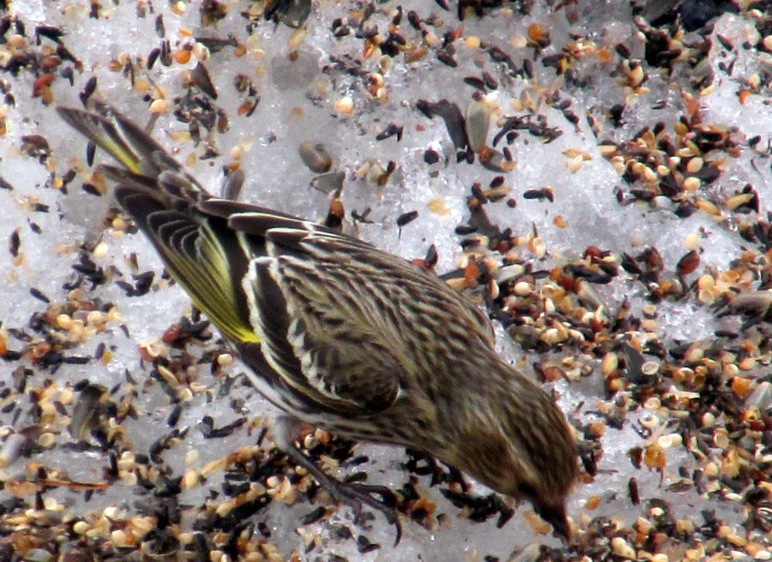 pine siskin stretching in seed