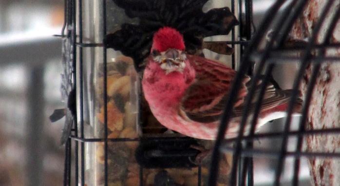 purple finch on feeder