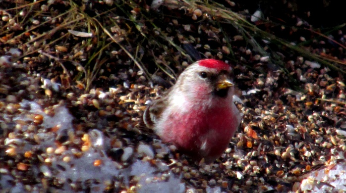 redpoll on seed