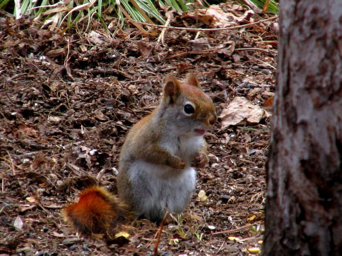 redsquirrelsittingup26April2015