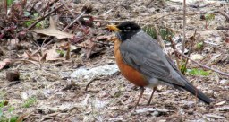 robin26April2015