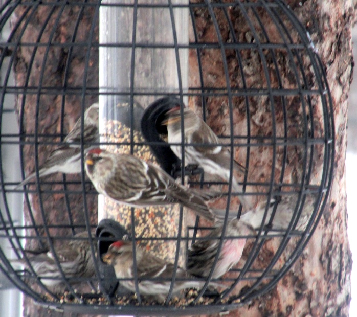 seven redpolls in finch feeder