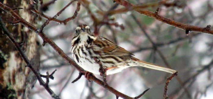 song sparrow in apple tree