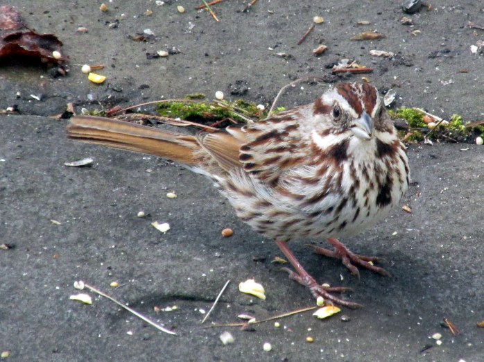 song sparrow on path