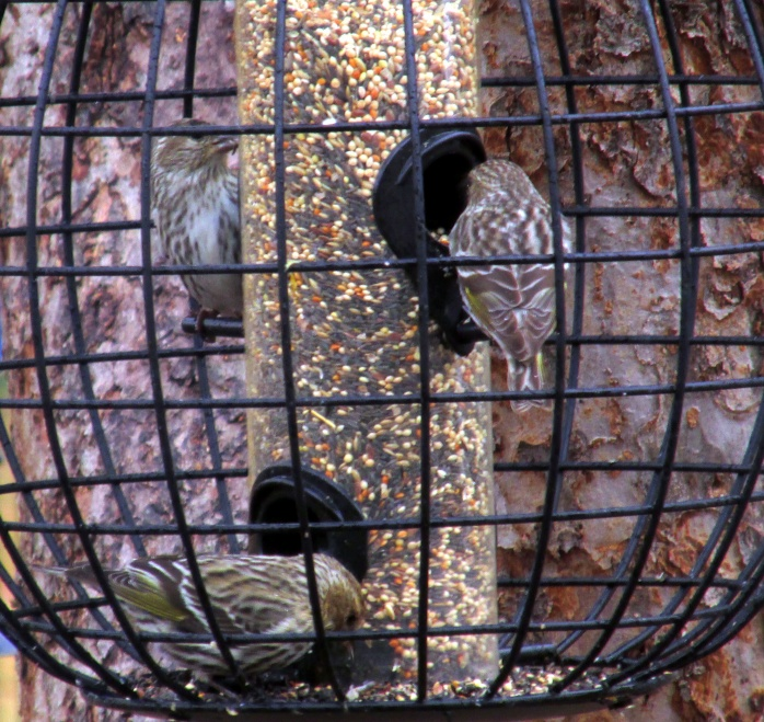threepinesiskinsfinchfeeder20April2015