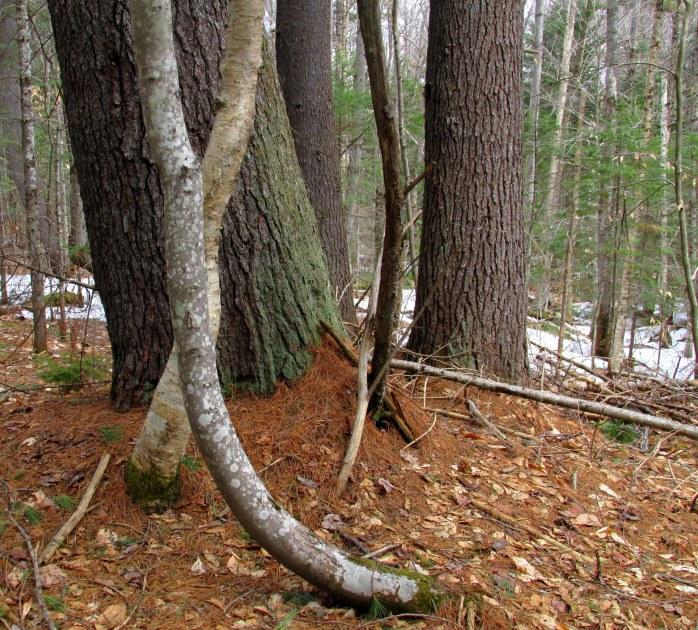 tree trunks