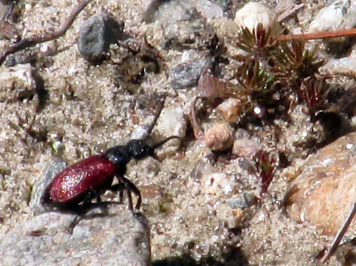 Tricrania sanguinipennis (blister beetle)