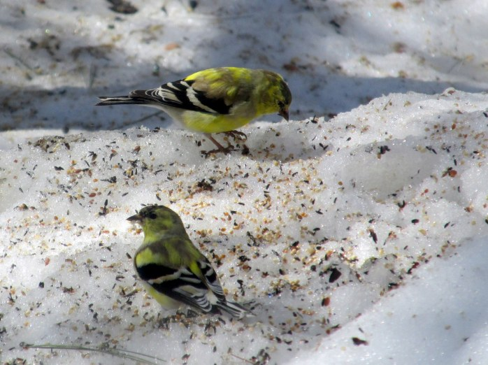 two American goldfinch in snow