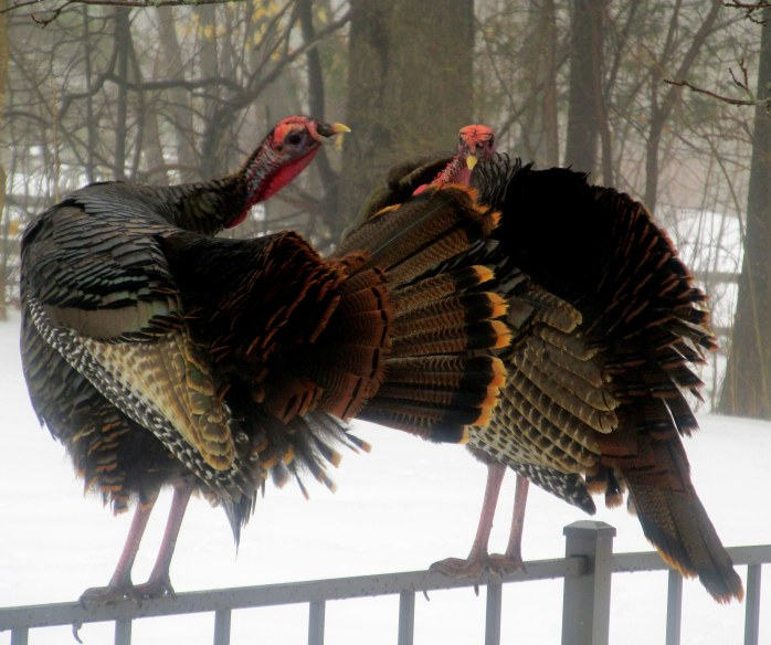 two turkeys on fence, grooming