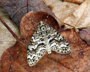 Cladara atroliturata (scribbler moth) on leaves