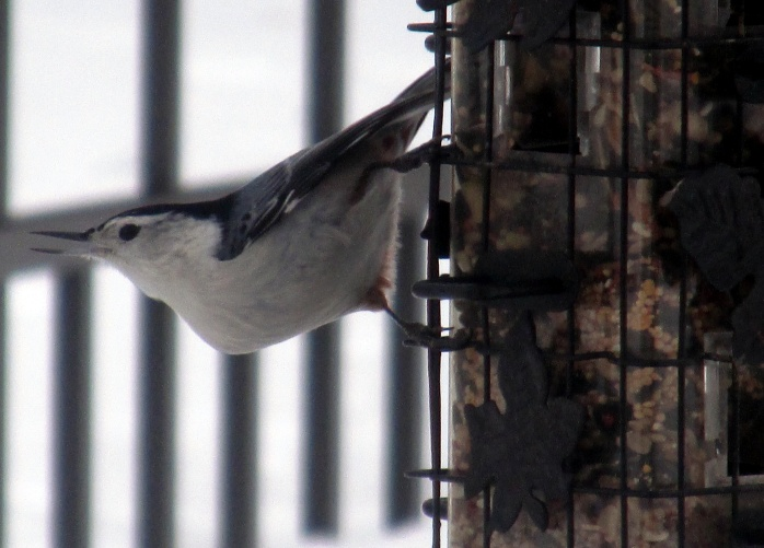 white-breasted nuthatch at feeder