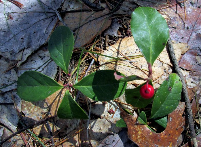 wintergreen with berry