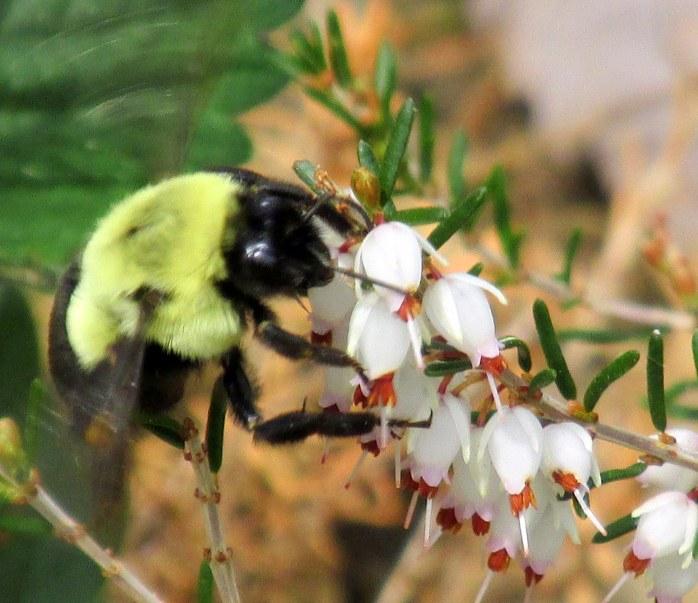 bumblebee on Erica carnea heather