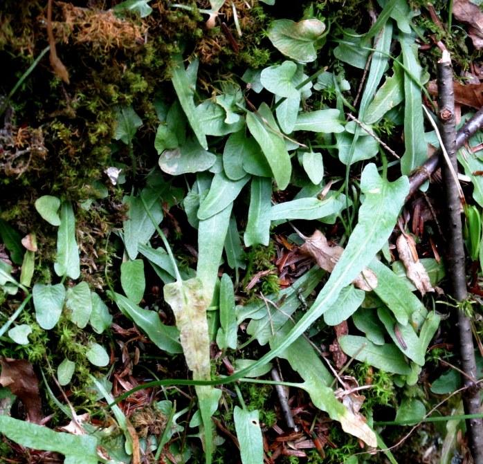 AspleniumRhizophyllumAmericanWalkingFernonmossyrockcloserLHCA13May2015
