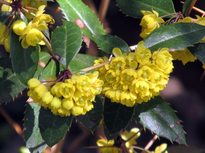 Berberis julianae (wintergreen barberry)