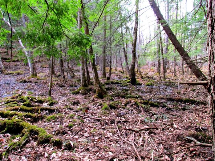 black ash maple swamp