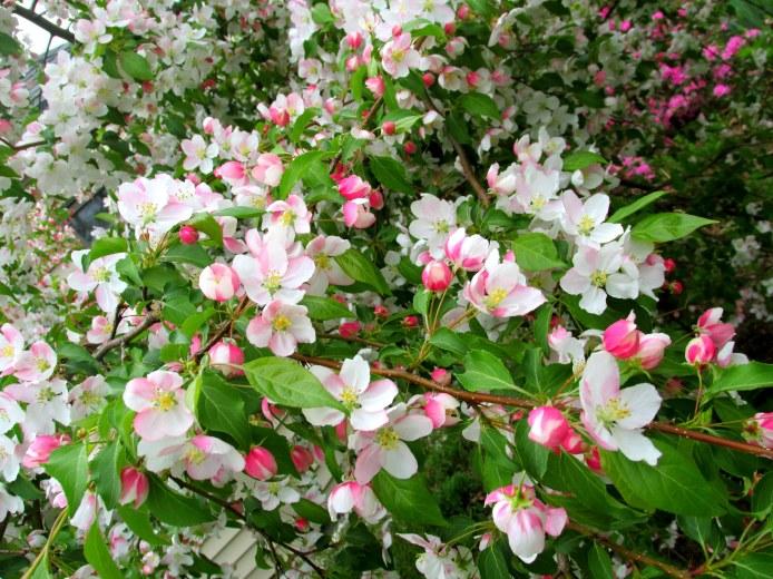 blossomsweepingJadecrabapple18May2015