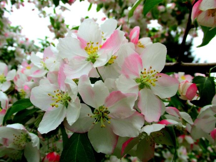 blossomweepingJadecrabapple18May2015