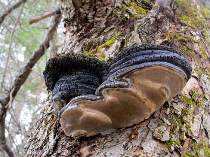 conk tree fungus on apple tree