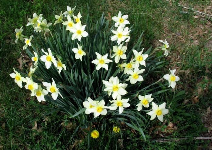 daffodil clump