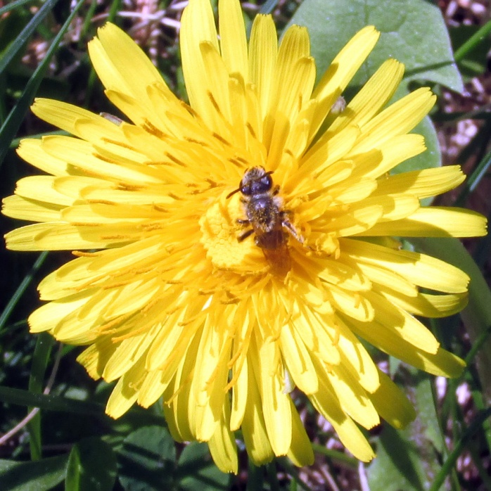 dandelion with pollinator