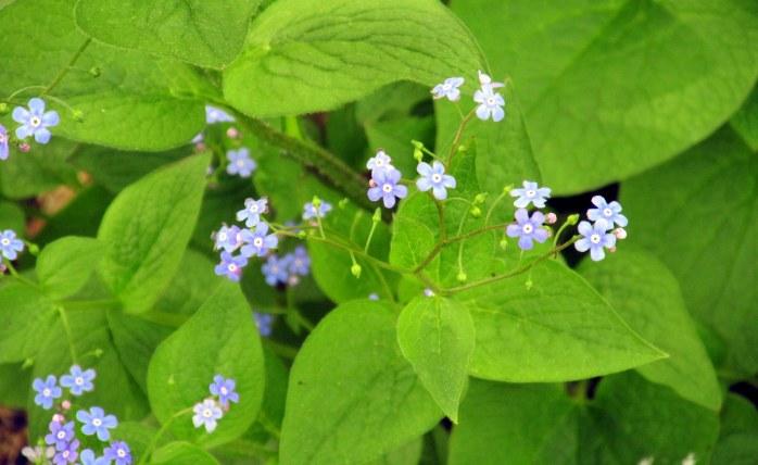 Brunnera macrophylla - heart-leaf brunnera