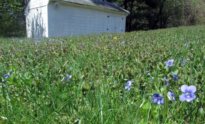 lawn of violets, ajuga, creeping Charlie, dandelions, grass