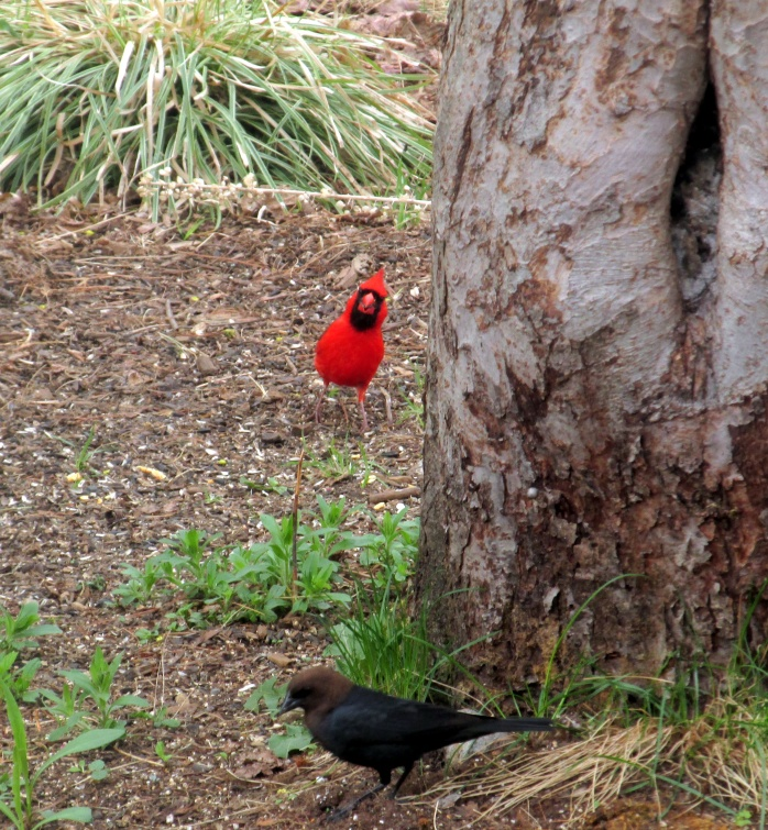 male cardinal and male cowbird
