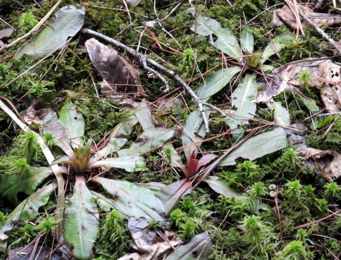 maybe Saxifrage Pensylvanica (swamp saxifrage)