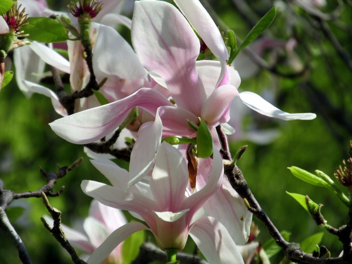 pale pink magnolia
