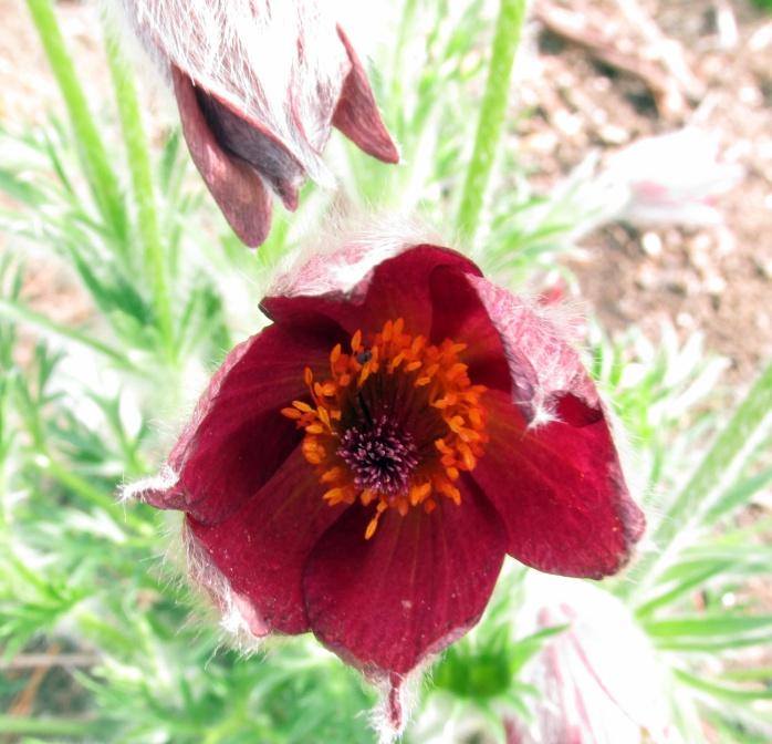 Pulsatilla vulgaris 'Rote Glocke' - pasque flower