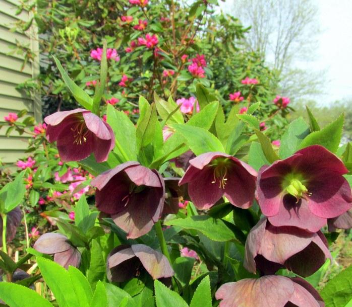 purple 'Royal Heritage series' hellebore and 'Olga Mezzitt' rhododendron