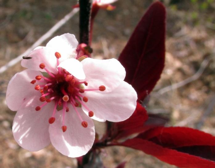 purple-leaf sand cherry bloom