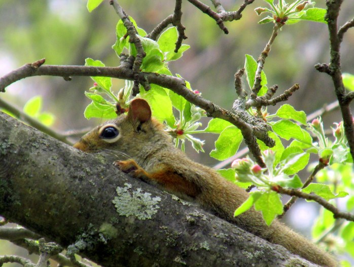red squirrel in apple tree
