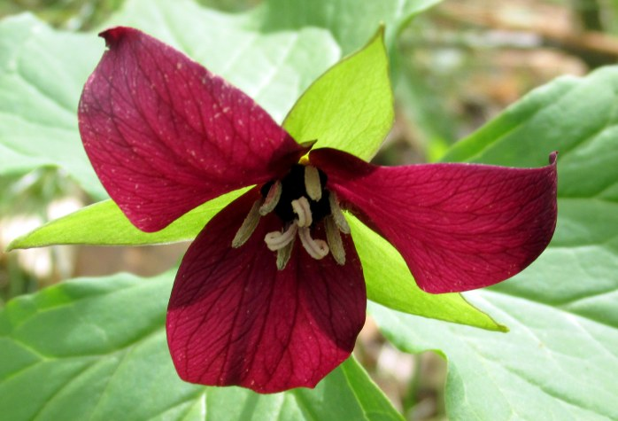redtrilliumflowercloseLHCA13May2015