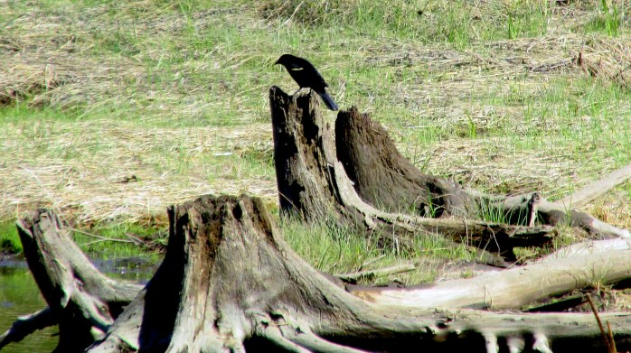 red-winged blackbird on stump in former beaver pond