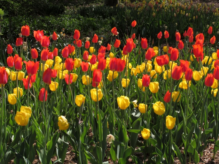redyellowtulipsCentralParkNYC2May2015