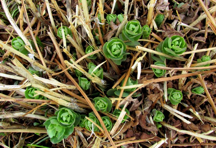 sedum growing in wet meadow
