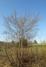 Amelanchier (serviceberry), 6 May 2015
