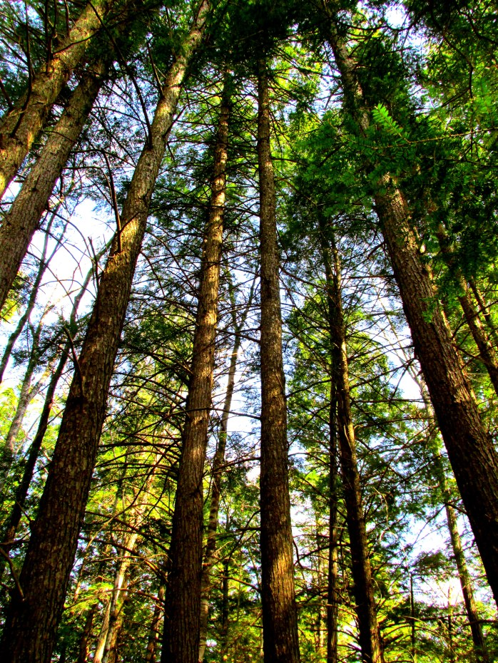 unmanaged hemlock forest, 6 May 2015