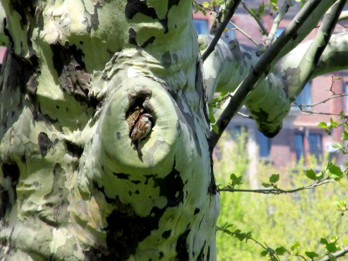 sparrow nesting in sycamore